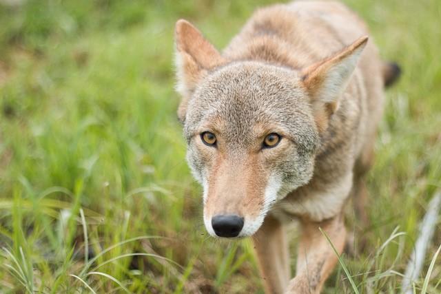 Alex Coyote Refuge Pageau