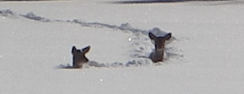 Cerfs neige
