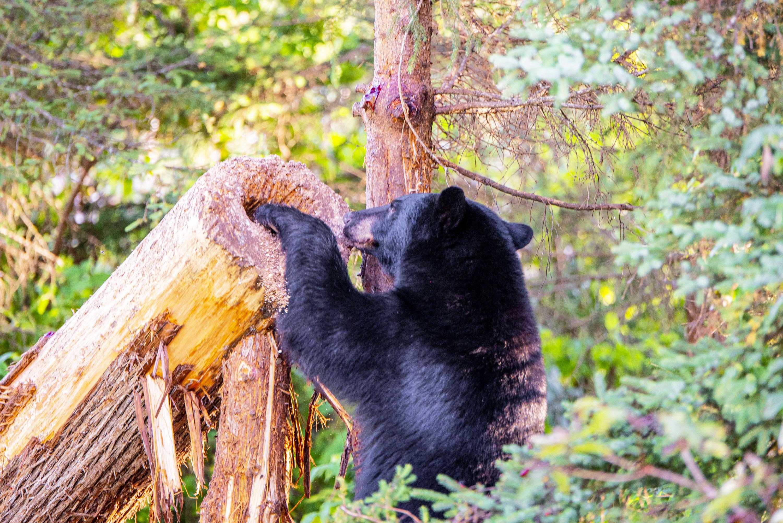 Réserve faunique de Matane ours noir