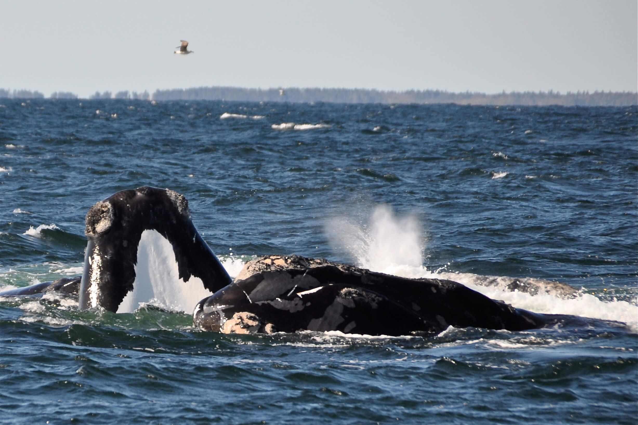 Baleine Noire
