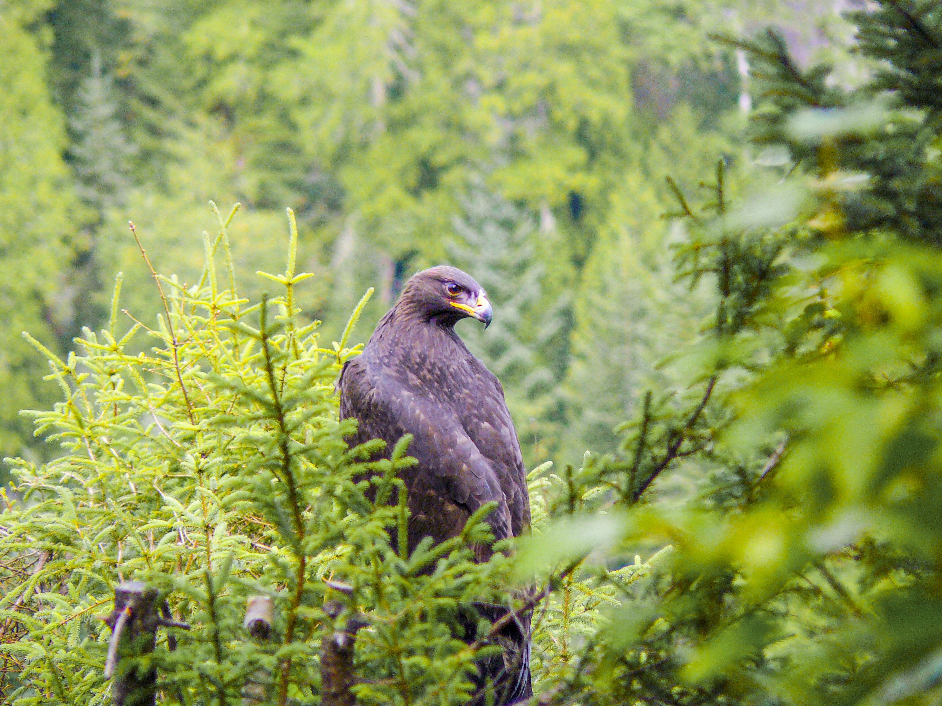 aigle royal aiglon réserve faunique de Matane