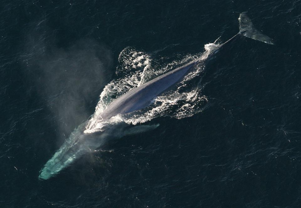 La baleine bleue est actuellement le plus gros animal au monde.