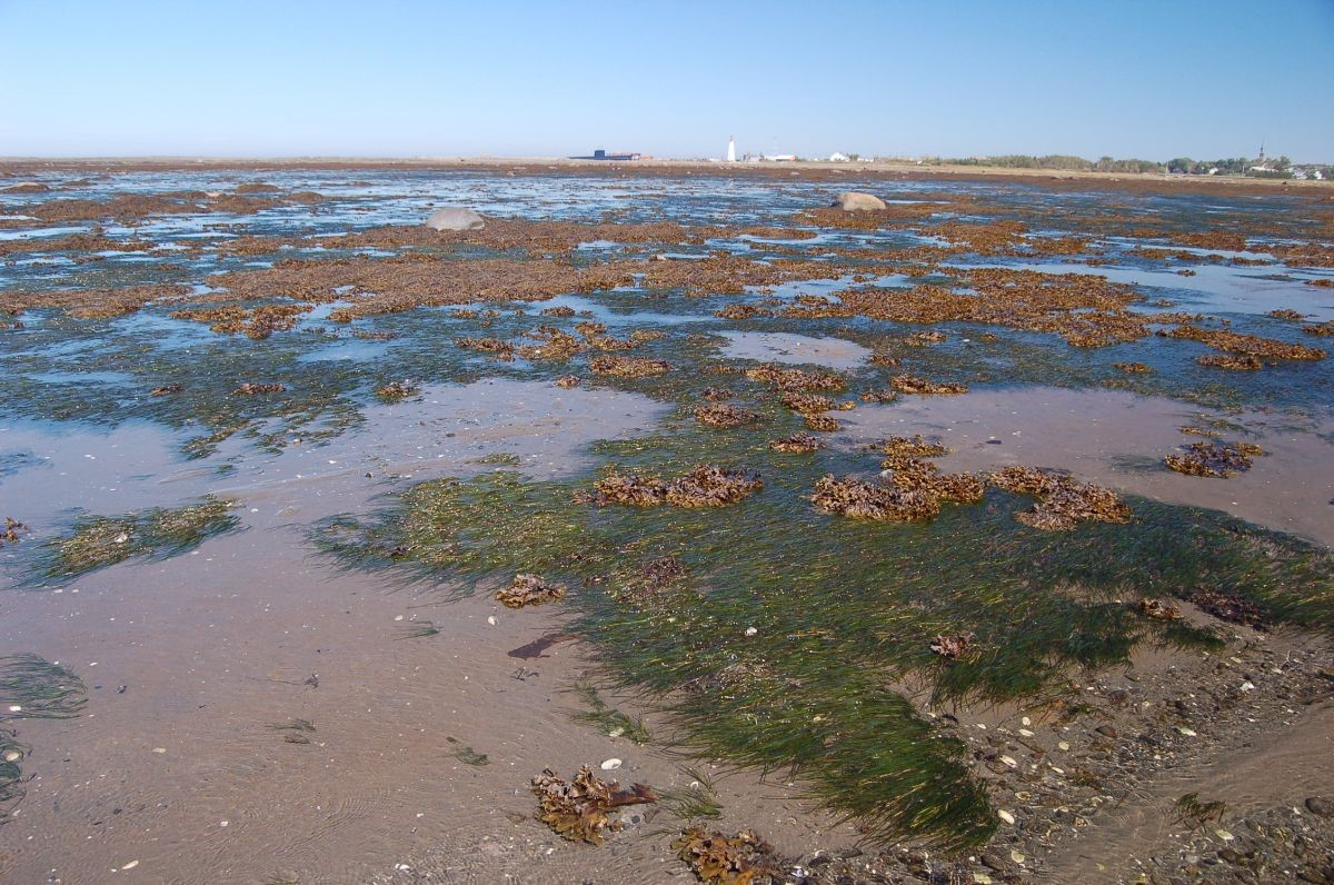 Zostère marine Pointe-au-Père