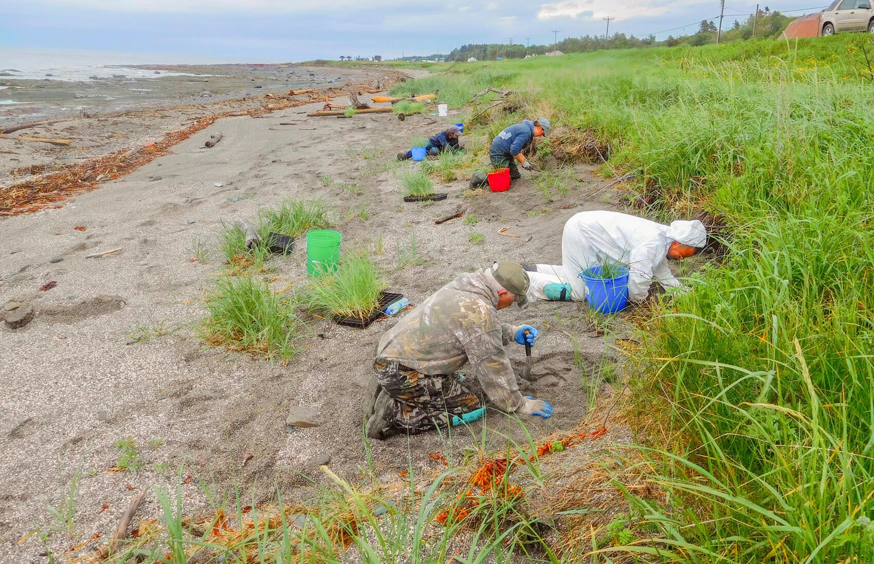 Groupe environnemental Uni-Vert région de Matane élyme des sables génie végétal stabilisation rives berges Saint-Laurent