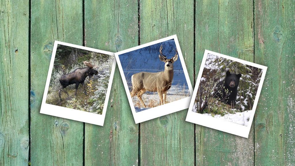 Statistiques de chasse 2019 – chasse à l'orignal, au cerf de Virginie et à l'ours.