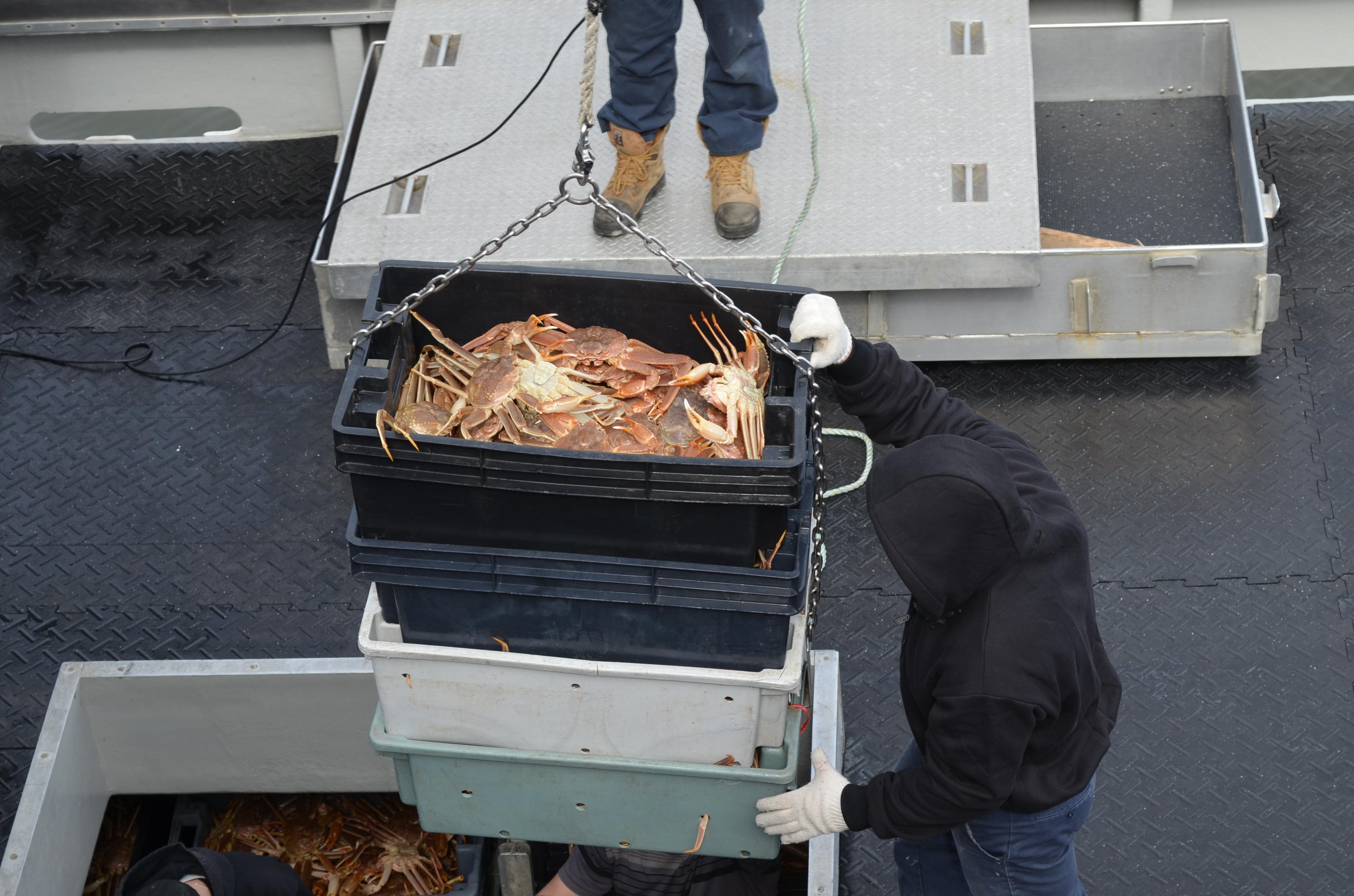 Arrivage de crabes au quai de Rimouski-est.